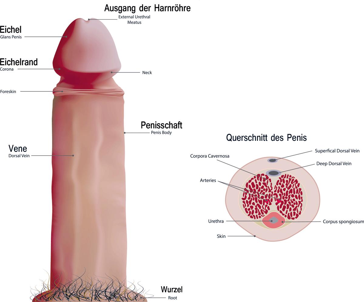 Charmant Anatomie Einer Eichel Ideen - Anatomie Und Physiologie ...