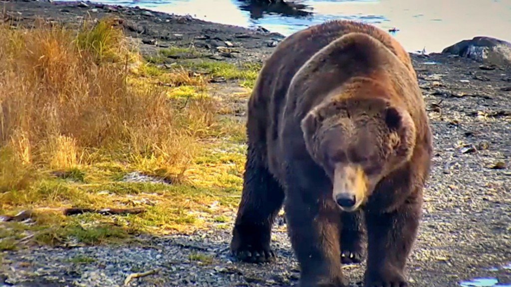 "Ussuri Brown Bear Vs Grizzly The ""King"" o..."