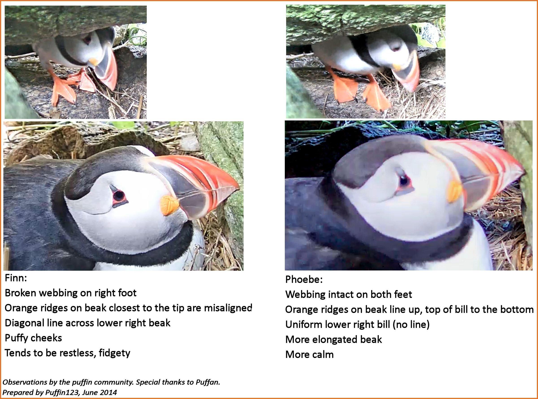 spying on puffins audubon
